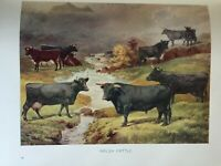 ANTIQUE PRINT C1910 WELSH CATTLE COWS COW FARMING COLOUR PRINT DAIRY FARM ART