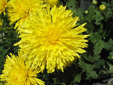 0.5g (app.300) aster Princess seeds CALLISTEPHUS CHINENSIS stunning yellow color