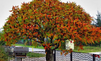 Staghorn Sumac Tree Seeds (Rhus typhina) 20+ Seeds
