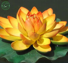 Mini  Seeds Golden Colors Lotus Seeds Water Lily Seeds Lotus Golden Flowers Seed