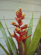 BROMELIAD Guzmania Loja - Nice healthy established plant on Offer!