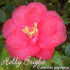 """Camelia """" Holly Bright """" - Camellia Japonica - 3-jährige Plant"""