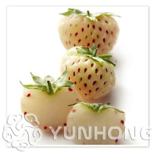 500 Pcs Seeds Pineberry Bonsai Balcony Potted Garden Pineberry White Berries New