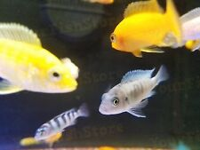 x50 AFRICAN CICHLID ASSORTED FRESHWATER LIVE FISH *FREE SHIPPING *BULK
