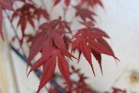 15 Semillas de Arce Japones Purpura  (Acer palmatum Atropurpureum)