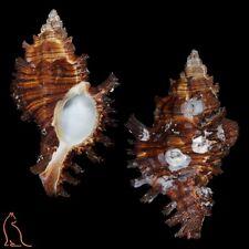 Murex Chicoreus torrefactus torrefactus, Japan, Muricidae sea shell