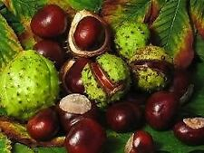6 Horse Chestnut Tree Seeds - Showy Flowers in Spring - Chestnuts in Fall