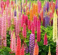 Russell Lupine Rainbow Mix 50 seeds * Lupinus Polyphyllus* Easy grow CombSH J13