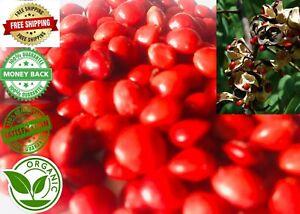 500 Red Lucky Seeds Bead Adenanthera Pavonina Saga Seed Coral Tree Ceylon Rare