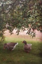 Two Gray Dewlap Toulouse Goose Hatching Eggs