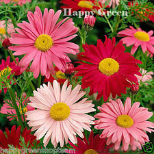 ROBINSON'S MIX - Painted daisy - 180 SEEDS - Chrysanthemum Tanacetum coccineum