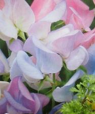 ♫ POIS SENTEUR 'Pâle Elégant' -Lathyrus odoratus ♫ Graines ♫ Ornement Grimpant ♫