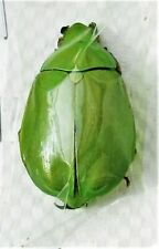 Mexican Scarab Beetle Plusiotis Chrysina adolphi Female Fast From Usa