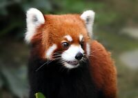 A4| Adorable Red Panda Poster Print Size A4 Wild Animal Poster Gift #14159