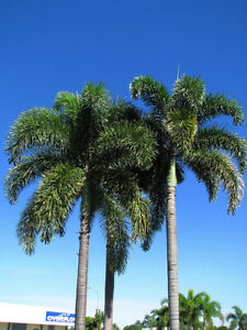 FOXTAIL PALM TREE PLANT LIVE