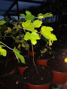 """Ficus """"brown turkey"""" Fig Tree plant cold hardy not dormant"""