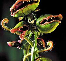 20 pcs Venus Fly Trap Dionaea Muscipula Carnivorous Plant Seed