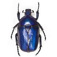 Torynorrhina flammea blue ONE REAL SCARAB BEETLE THAILAND UNMOUNTED