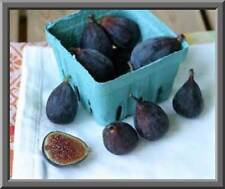 Black Mission Fig Seeds! SELF FERTILE! EAT FRESH / CAN / OR DRY! COMB. S/H!
