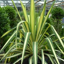 Yucca filamentosa Color Guard-Adam's Needle Plant in 9 cm pot