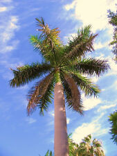 Roystonea Regia CUBAN ROYAL PALM tall tree ornamental palms plant seed 100 seeds