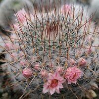 Mammillaria riteriana Cactus Cacti Succulent Real Live Plant