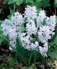 "PRE ORDER! 25  Puschkinia ""Libanotica""""Russian Snowdrop""  Spring Flowering Bulbs"