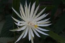 "(1) ~CUTTING~ Epiphyllum ~Hookeri Strictum~ Orchid Cactus Succulents 7"" Long"