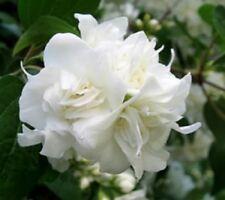 20 MOCK ORANGE Sweet English Dogwood Philadelphus Coronarius Shrub Flower Seeds