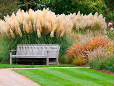 Ornamental Grass Seeds Mixed Feather Pampas Fast Growing Perennial - 100 Seeds