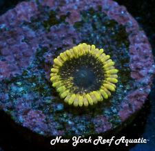 New York Reef Aquatic - 0611 F5 Indo Stiggy Zoanthid, Zoa, Wysiwyg Live Coral