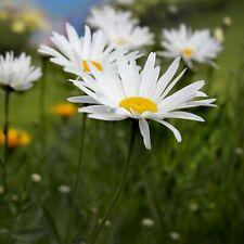 500 Graines de Grande Marguerite - fleurs plante vivace jardin méthode BIO