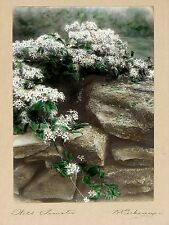 R. EICKEMEYER JR SIGNED Antique c1915 HandColor Photo WILD CLEMATIS Murray Print