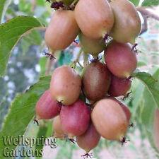 HARDY KIWI FRUIT Plant Ken's Red Actinidia arguta MALE Vine Plant