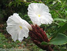 Costus Speciosus 15 Seeds, Cheilocostus Speciosus Hardy Crepe Spiral Ginger