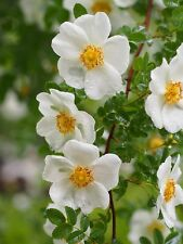 Wild Dog Rose*PIMPINELLIFOLIA*20-Fainest Seeds*Nice & Aromatic Bush*For Hedges*