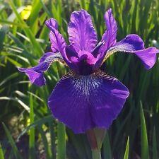Iris sibirica  - Siberian Iris - Lost Label BARGAIN