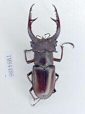 Tm84486 lucanidae lucanus deuvianus 61mm Guangxi