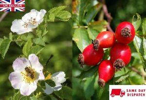 Rosehip / Wild Dog Rose (Rosa Canina). 25 seeds. 2021 harvest. Same Day Dispatch