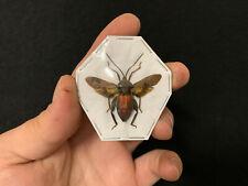 Coreidae sp. A1 d'Indonesie!! Entomologie Insecte Collection