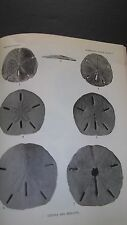 CENOZOIC ECHINOIDS of EASTERN U.S. Fossils  Sea Urchins  Sand Dollars  43 Plates