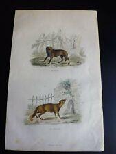 Gravure couleur 19°:mammifère:  le loup...le renard