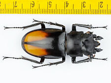 LUCANIDAE - Hexarthrius parryi (48mm) WITH ABNORMAL MANDIBLE - MALAYSIA - 1693