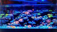 Green Star / GreenStar Polyps GSP frag beginner Soft Coral Copepods Amphipods