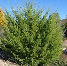 New listing Monterey Cypress, cupressus macrocarpa 200 seeds. trees, seeds