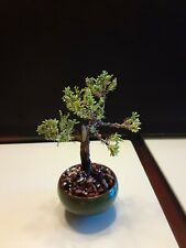 Dwarf Japanese Juniper mame bonsai tree
