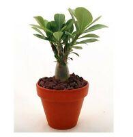 """Desert Rose Live Caudex Plant Adenium Obesum Natural Bonsai 3"""" Pot"""