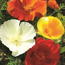 New listing 100 pcs California Poppy (Eschscholzia Californica Mission Bells) mixed