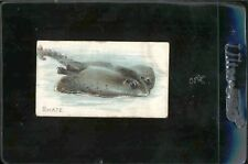 """1910 T56 """"SKATE"""" Fish Sting Ray Sweet Caporal Vintage Tobacco Trade Card"""