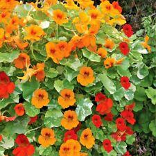 50+TALL NASTURTIUM MIX seeds Single Blooms Trailing / Climbing Edible Flowers